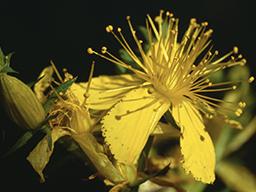 Webinar: Pflanzen für die Seele oder Psychoregulation mit Heilpflanzen