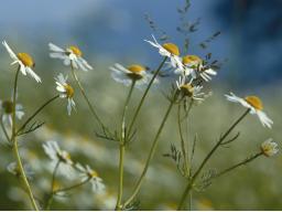 Webinar: Die antimikrobiellen Kräfte der Pflanzen